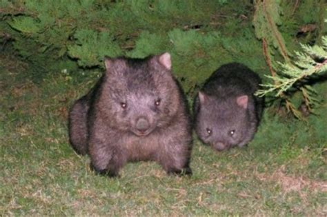 Top 10 cutest baby wombats | Cute n Tiny