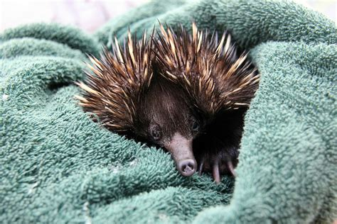 How does a baby echidna drink milk? Adorably