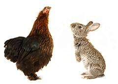 Can Chickens and Rabbits Live Together?