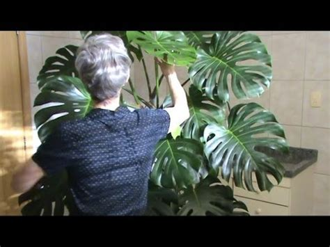House plant pot: Cutleaf Philodendron (aka Monstera
