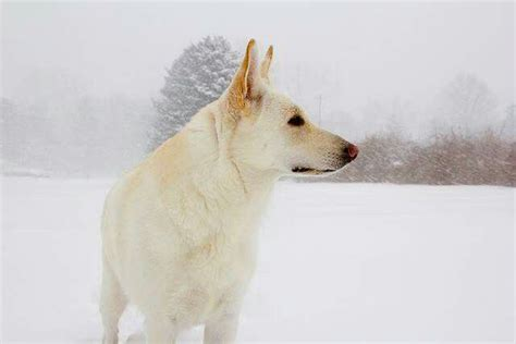 Nice photo of a GSD (White)