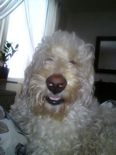 Our Dogs - Norrland Labradoodles